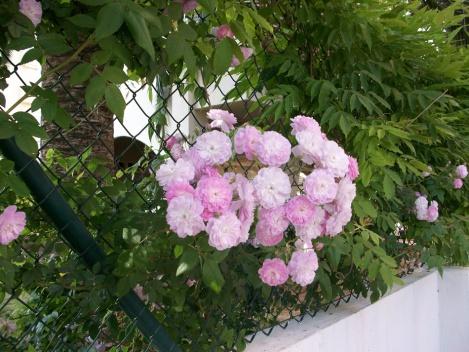 rosas-de-pitimini-gandia