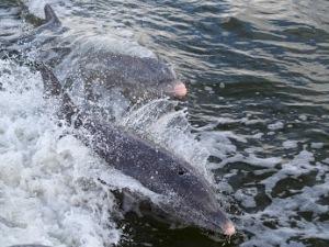 Hermosos e inteligentes delfines, que alegran las aguas estivales.
